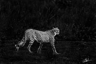 Felin Cheetah
