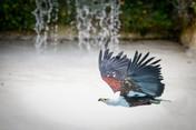 Aigle Pêcheur #1