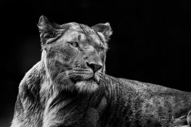 Réveil_Lionne