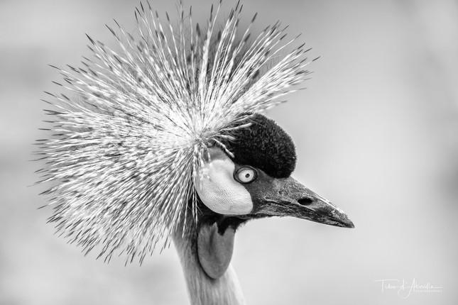 Common Crane #2