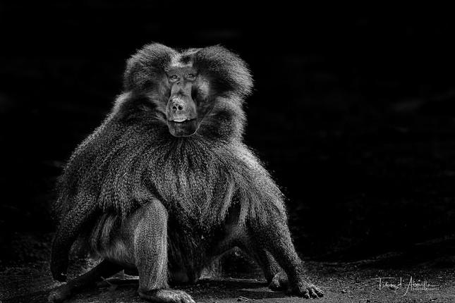 Baboon #1