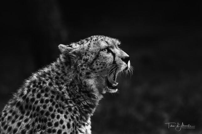 Cônes Cheetah