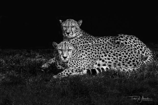 Emoticon Cheetah