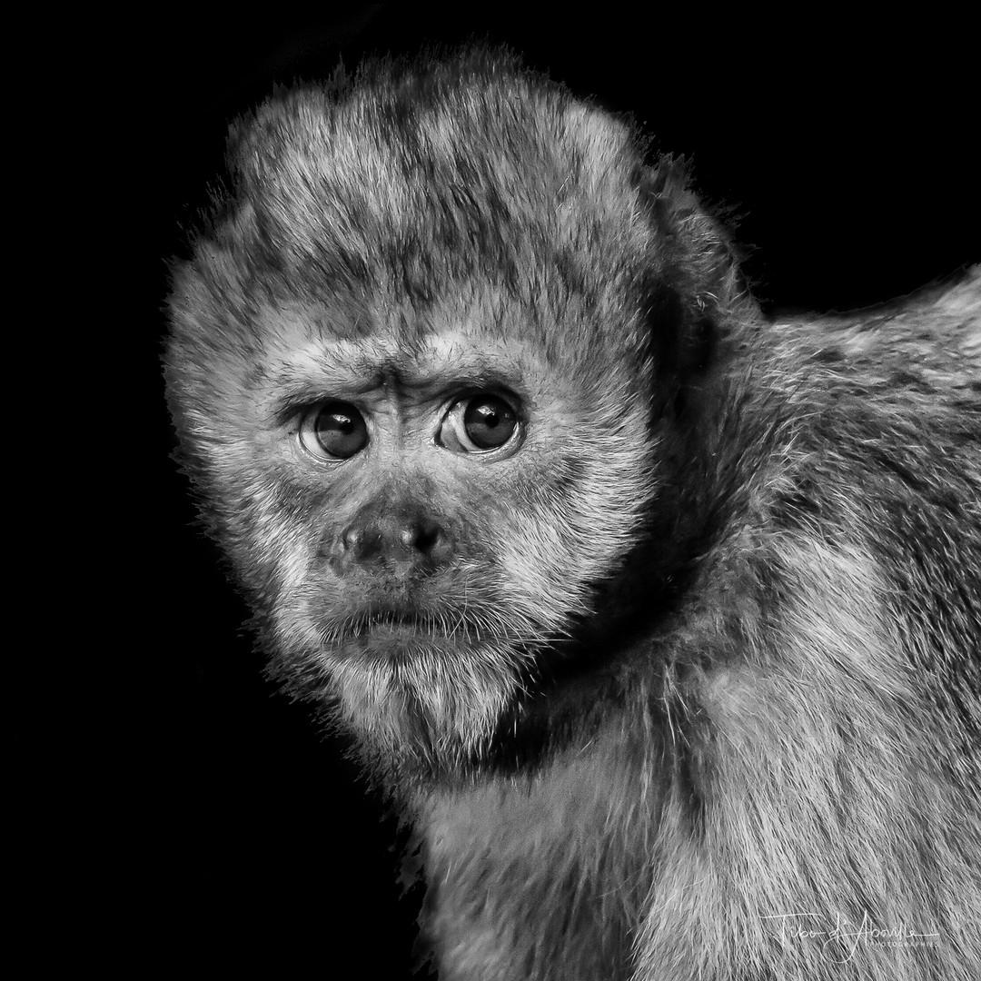 Gibbon Oeil