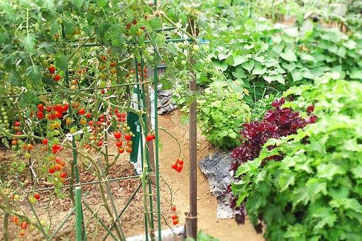 トマト_菜園.jpg