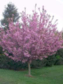cherry flowering.jpg
