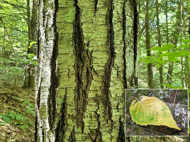 2 gathering of birches.jpg