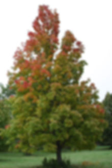 bowhall_red_maple_900.JPG