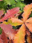 quercus bicolor american dream.JPG