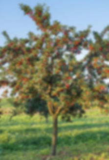 sour cherry-tree-1024x697.jpg