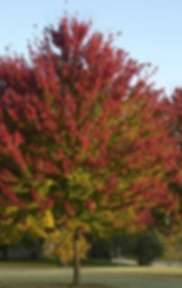Acer-rubrum-x-freemanii-Jeffersred-Freem