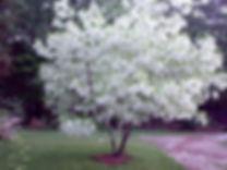 Chionanthus_virginicus-600x450.jpg