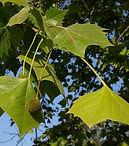 platanus occidentalis.JPG