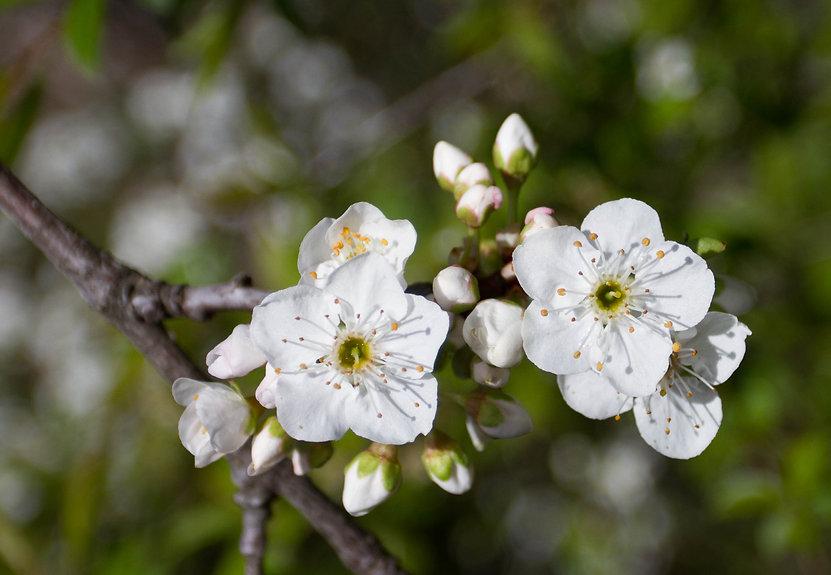 blossom (1 van 1).jpg