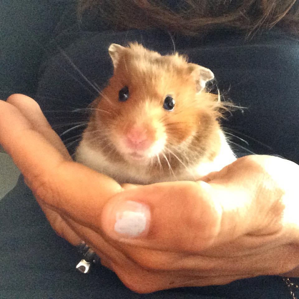 Hamsters, Gerbils, Chinchillas, Rats