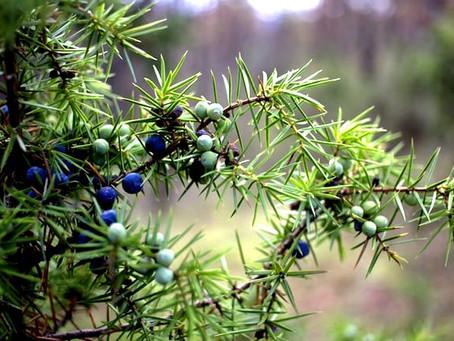 GINEPRO Juniperus Communis