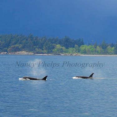 Orcas 1.jpg