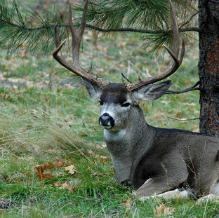 Buck at Yosemite by Tree.jpg