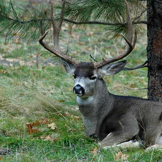 Buck at Yosemite by Tree.jpg