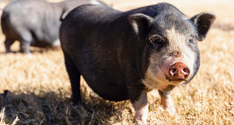 12_27_20_pigs-1355_edited_edited.jpg