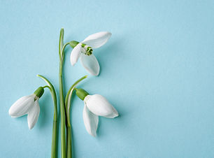 Three white delicate snowdrops against blue background. Delicate first spring flowers Gala