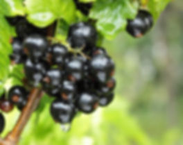 black currant branch with water drops a