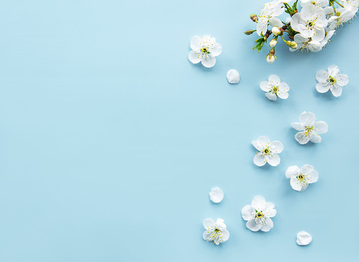 Spring border background with beautiful white flowering branches. Blue background, bloom d