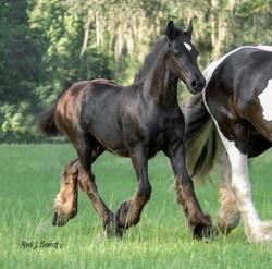 GG_Starbuck_as_a_foal