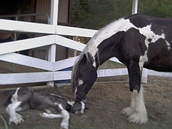 Papuza & Vanilla Swirl as a foal
