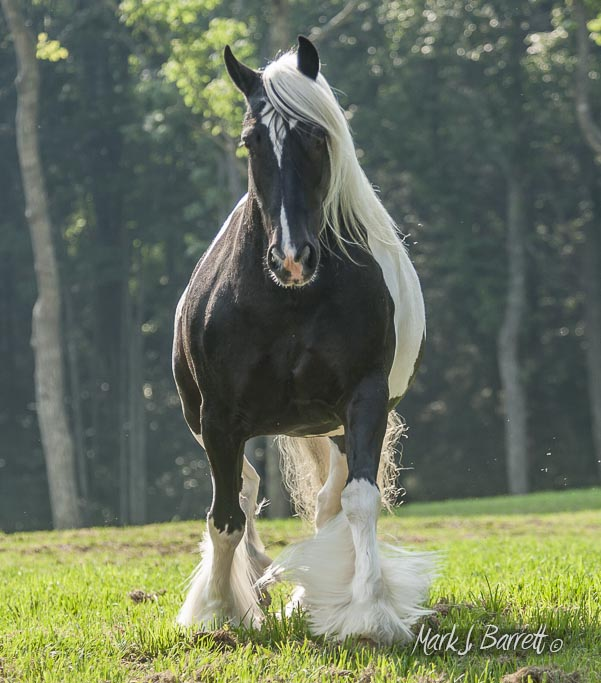 Annie Rose Gypsy Vanner Adorable