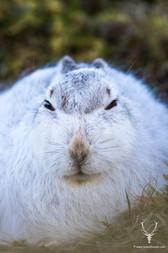 mountain-hare.jpg