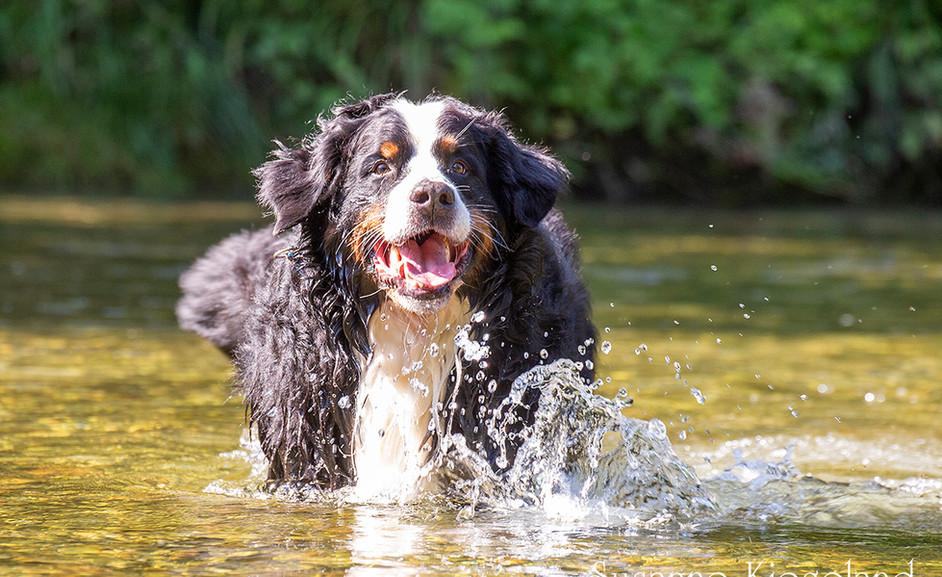 Bernersennen im Wasser