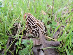 Morchella conica