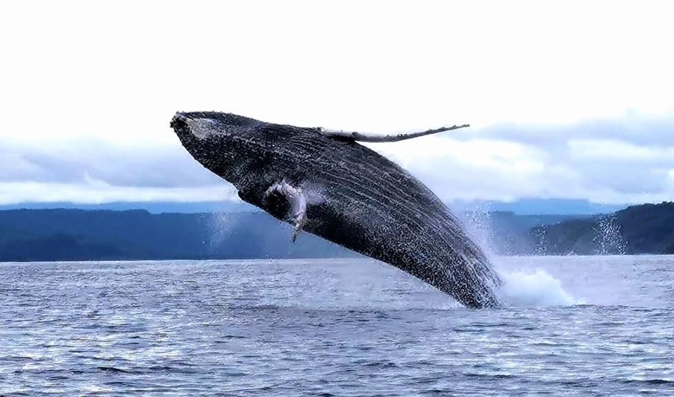 ballena jorobada Octubre 2019.jpg