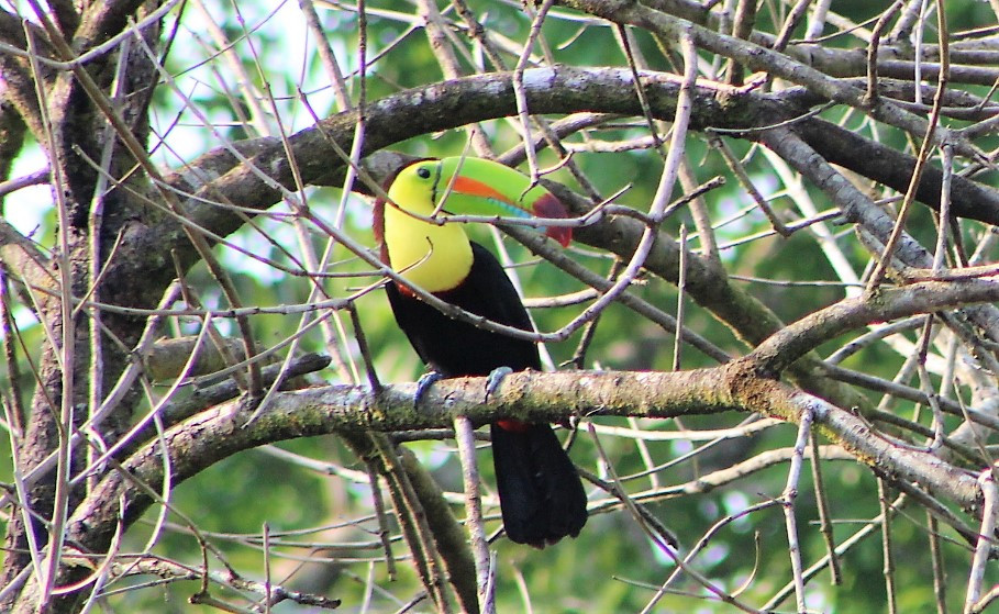 Kille billed toucan