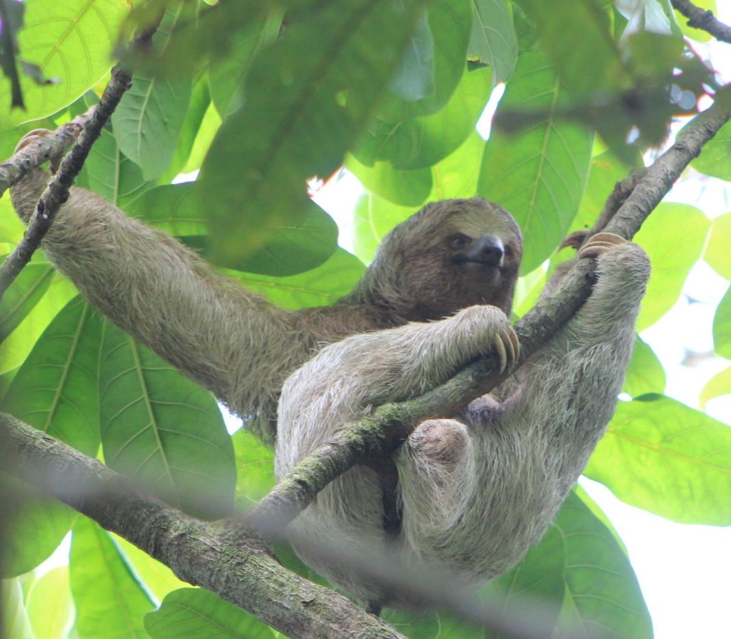 Wildlife tours Sloths three toes