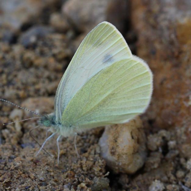 Mountain Small White