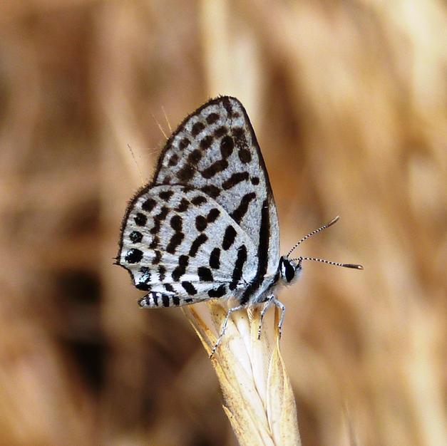Common Tiger Blue
