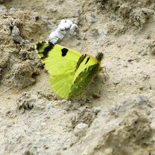 Spanish Greenish Black-Tip