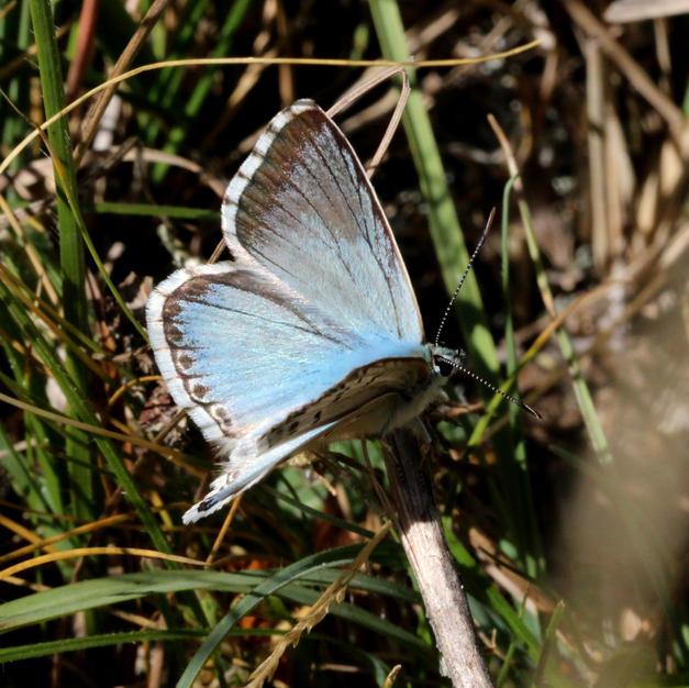 Azure Chalkhill Blue