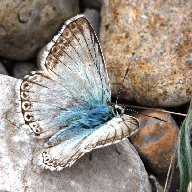 Spanish Chalkhill Blue