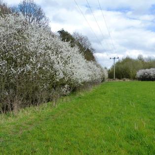 Blackthorn hedgerows