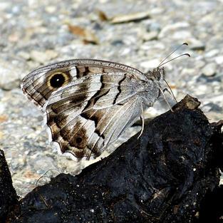 Striped Grayling