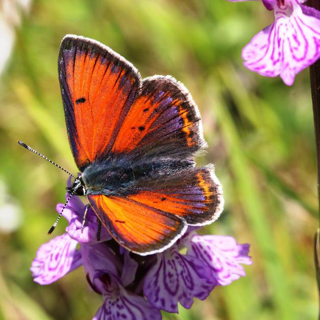Purple-edged Copper