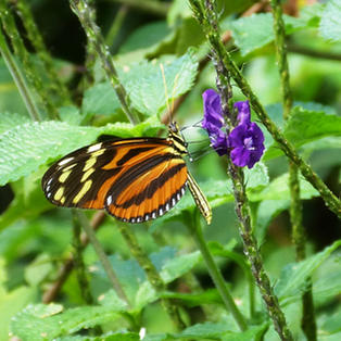 Tiger Heliconian