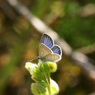 Lorquin's Blue