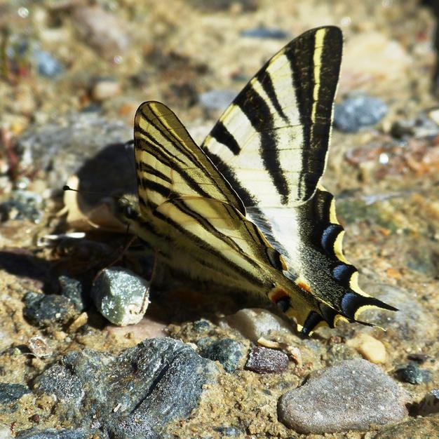 Iberian Scarce Swallowtail