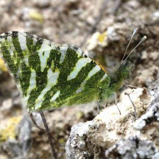 Green-striped White