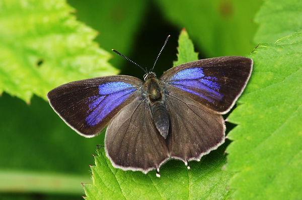 purple hairstreak upperside.JPG