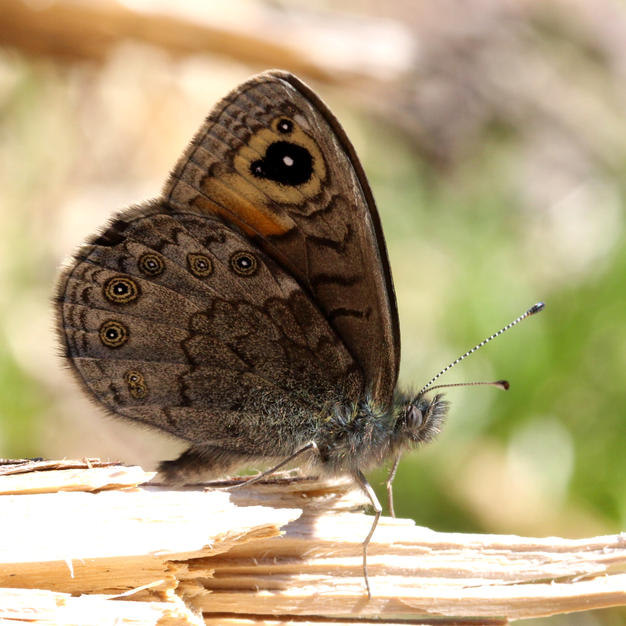Northern Wall Brown